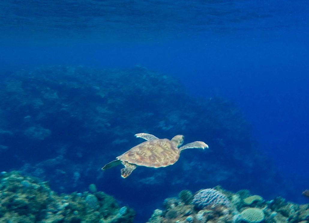 En sköldpadda hälsar på då vi letade rester från Alma Mater